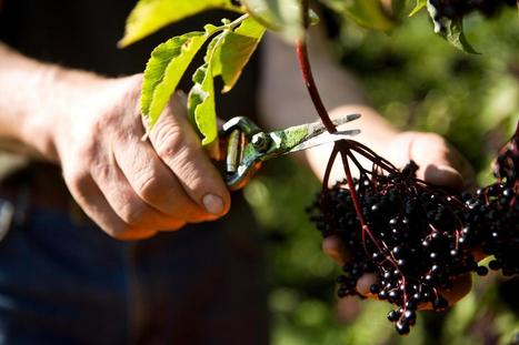 Elderberry benefits air travelers | Erba Volant - Applied Plant Science | Scoop.it