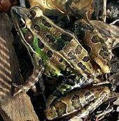 Les grenouilles se découvrent un nouvel ennemi - Journal de l'environnement (Abonnés)   Biodiversité   Scoop.it