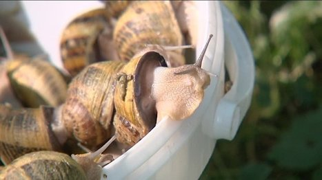 Des escargots récoltés par milliers - France 3 Aquitaine | Agriculture en Dordogne | Scoop.it