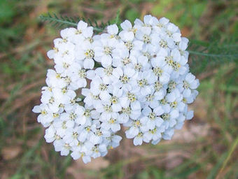 How to Grow and Use Yarrow (Achillea Millefolium) | Herb Gardener | CALS in the News | Scoop.it