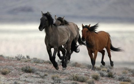 Protected Wild Horses Dying for Ranchers' Profit | Upsetment | Scoop.it
