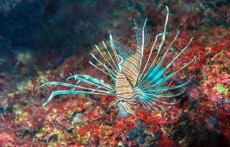 Lionfish invading the Mediterranean Sea | Sustain Our Earth | Scoop.it