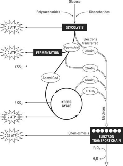 Respiration: Energy for Plant Metabolism | Biological Systems | Scoop.it