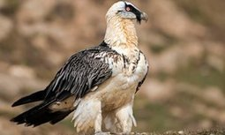 Spectacular bearded vulture spotted for first time in UK | 100 Acre Wood | Scoop.it