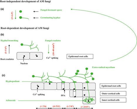 Protein actors sustaining arbuscular mycorrhizal symbiosis: underground artists break the silence   Plant-Microbe interactions   Scoop.it