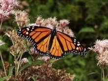 Monarch Butterfly Tagging at Oil Creek State Park Sept.12 - GoErie.com Blogs (blog) | Camping | Scoop.it