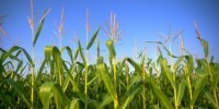 A Win for GM Crops | The Scientist | reNourishment | Scoop.it