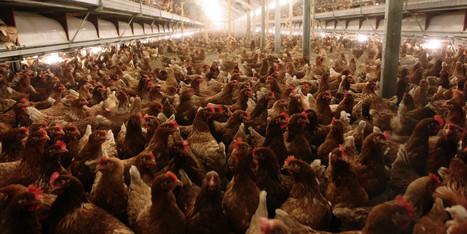 Animal Cruelty At Alberta Chicken Farms (VIDEO) - Huffington Post Canada | Animal Abuse | Scoop.it
