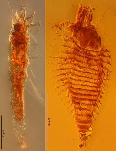 Oldest Arthropods Preserved in Amber: Specimens are 100 Million Years Older Than Previous Amber Inclusions | Weird Science | Scoop.it