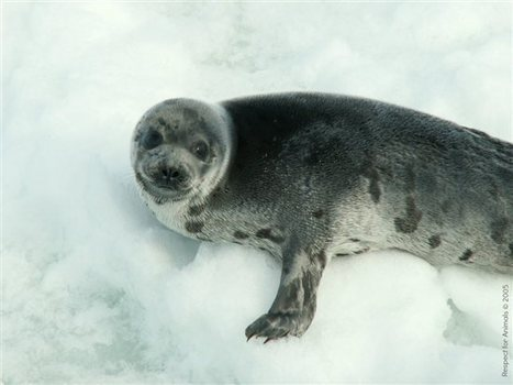 Victory for #Seals! #EU Court Upholds Seal-Fur #Ban - PETA | Rescue our Ocean's & it's species from Man's Pollution! | Scoop.it