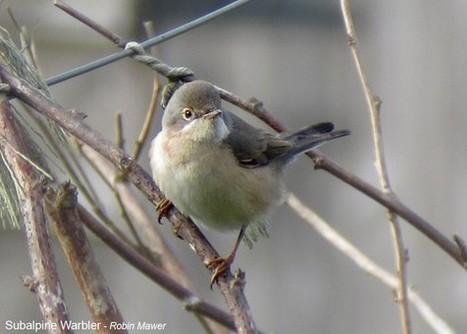 Subalpine Warbler, Scilly, Robin Mawer | Birding Britain & Ireland | Scoop.it