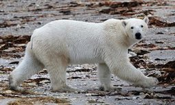 Polar bears losing weight as Arctic sea ice melts, Canadian study finds | Nuclear for Climate | Scoop.it
