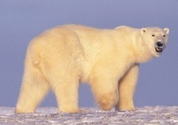 Protecting the Arctic National Wildlife Refuge » National Wildlife Refuge Association | Arctic wildlife conservation | Scoop.it