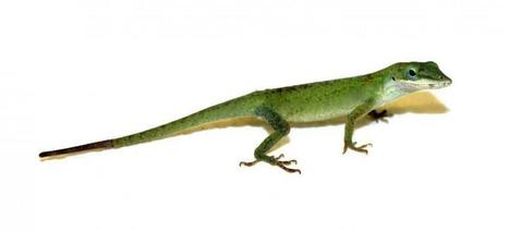 How lizards regenerate their tails: Researchers discover genetic 'recipe' | Animal Management | Scoop.it