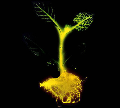 Can Glowing Trees One Day Replace Electric Streetlights? | Embodied Zeitgeist | Scoop.it