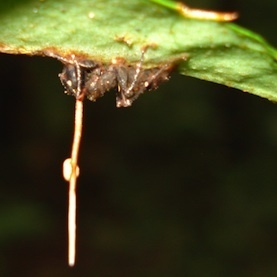 Undead-End: Fungus That Controls Zombie-Ants Has Own Fungal Stalker: Scientific American | Botany Roundup: Worthy Plant News | Scoop.it