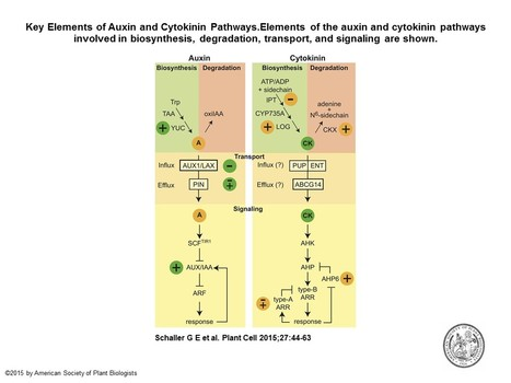 The Yin-Yang of Hormones: Cytokinin and Auxin Interactions in Plant Development | plant cell genetics | Scoop.it
