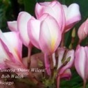 FREE Plumeria 'Daisy Wilcox' Seeds Giveaway | Annie Haven | Haven Brand | Scoop.it