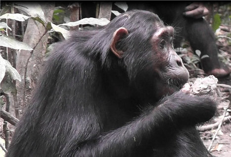 Wild #Uganda #Chimpanzees Using Clay as Food | Messenger for mother Earth | Scoop.it