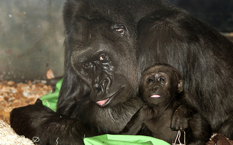 Two Gorilla Babies, Two Very Different Moms | Mountain_gorillas | Scoop.it