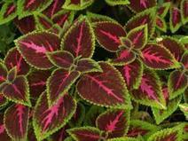 Two Other Downy Mildews To Know, Coleus & Basil Downy Mildew - PerishableNews (press release) | Container-a-Gogo | Scoop.it