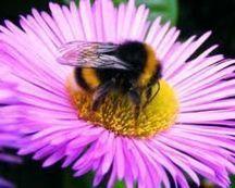 Pollinisateurs: les pesticides aussi néfastes côté jardin - Journal de l'environnement | Abeilles, intoxications et informations | Scoop.it