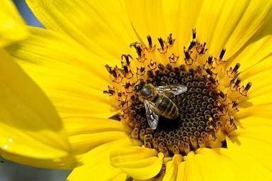 Biodiversité : un plan abeilles dévoilé le 20mai (S. Royal) | Le monde des abeilles | Scoop.it