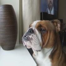 Le Bulldog qui se prend pour Pavarotti ! (Vidéo du jour) | CaniCatNews-actualité | Scoop.it