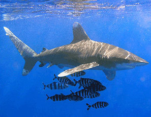 Oceanic Whitetip Shark Fishing Banned | Ocean News | Scoop.it