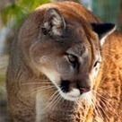 Cougars on the prowl, not increase, officials say | GarryRogers NatCon News | Scoop.it