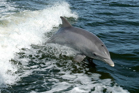 The Cove Hunt Is on Again, Which Means Dolphins Are in Danger | Our Evolving Earth | Scoop.it