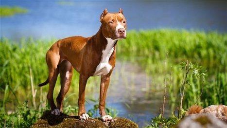 10 mythes sur les pitbulls | Archivance - Miscellanées | Scoop.it