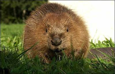 BEWARE THE MIGHTY BEAVER | Strange days indeed... | Scoop.it