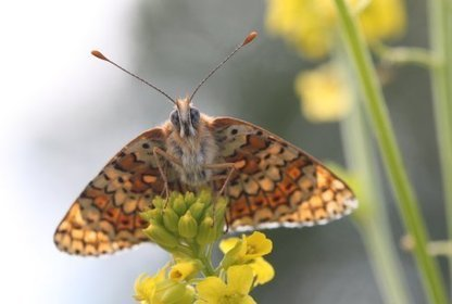 Butterflies illustrate the effects of environmental change | Sustain Our Earth | Scoop.it