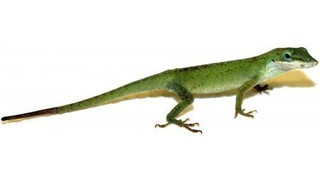 New understanding of lizard tails could allow humans to regrow body parts | medical toursim | Scoop.it