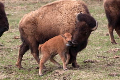 Minnesota Zoo welcomes first newborn bison in 20 years | Gov. & law-lexypries | Scoop.it