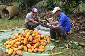 Cargill's 'promise' helps first Brazilian cocoa farmers become UTZ certified - Candy Industry | Fairly Traded News | Scoop.it