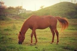 В поисках лошадей Чеджудо | Korea | Scoop.it