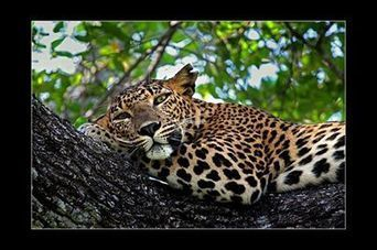 2nd Annual Photo Wildlife Competition... - leopard safaris sri lanka | Facebook | My Funny Africa.. Bushwhacker anecdotes | Scoop.it