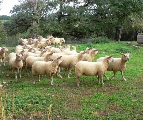 Viande ovine : les prévisions 2012 de l'Institut de l'Elevage. | Actualité de l'Industrie Agroalimentaire | agro-media.fr | Scoop.it