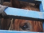 British abattoir accused of abusing horses   Horse and Country TV   Nature Animals humankind   Scoop.it