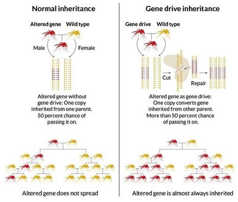 Gene drives spread their wings (Science News) | Modern Biology | Scoop.it