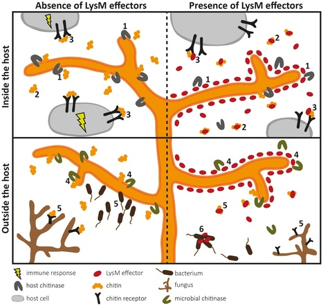 PLOS Pathogens: LysM Effectors: Secreted Proteins Supporting Fungal Life (2013) | Fungal effectors | Scoop.it