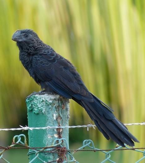 Photo d'Oiseaux : Ani à bec lisse - Crotophaga ani - Smooth-billed Ani | Fauna Free Pics - Public Domain - Photos gratuites d'animaux | Scoop.it