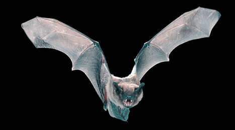 A Bat's Secret to Flying Like a Boss? Tiny, Tiny Hairs - Wired | Bat Biology and Ecology | Scoop.it