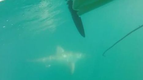 Shark shield saves Perth angler from shadowing 'great white' | Coastal Restoration | Scoop.it