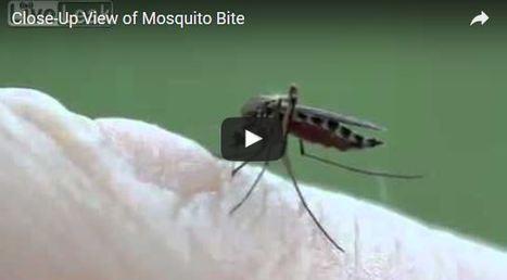 Combien de moustiques pouvez-vous nourrir en sang? | EntomoScience | Scoop.it