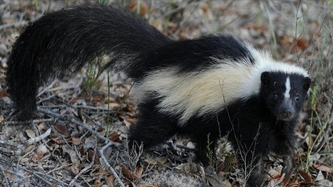 Girl shot by relative after being mistaken for a skunk | up2-21 | Scoop.it
