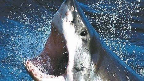 Shark in lake may be great white | All about water, the oceans, environmental issues | Scoop.it