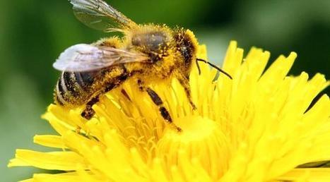Fin du monde ? La très inquiétante reprise de la disparition des abeilles pollinisatrices | Toxique, soyons vigilant ! | Scoop.it